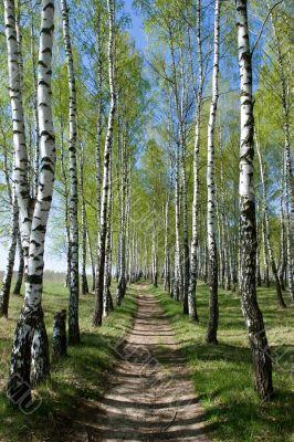 Birch-tree alley