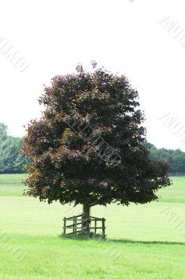 purple beech tree