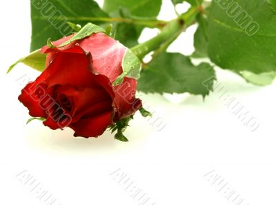 beautiful red rose with droplets over white