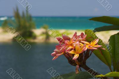 Wild Plumeria Flower