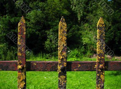Moss lichen on an iron fence