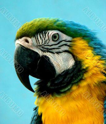 parrot Ara araruana