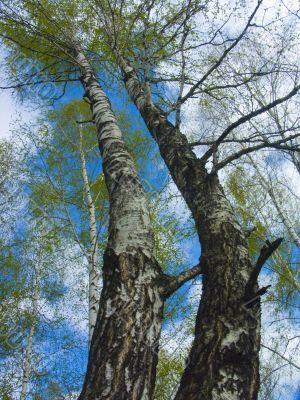 The spring sky through branches of a birch