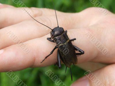 Black bug on a hand