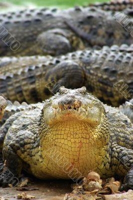 crocodile with food