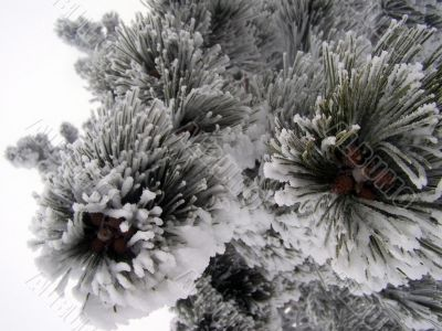 Icy pine needles and cones