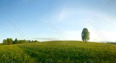 Lonely birch in a field. Landscape. Panorama.