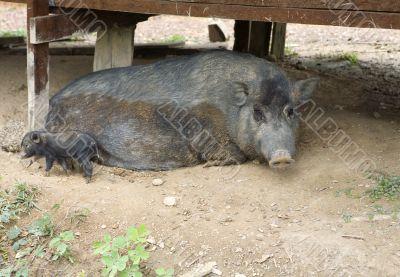 Wild pig as a pet