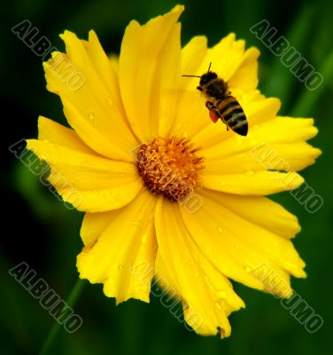 Beautiful ellow flower and bee
