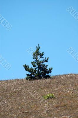 a pine and a hillside
