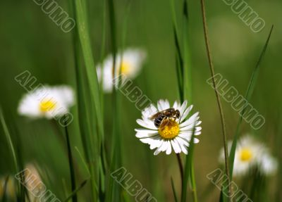 close up shot with chamomiles and bee. Shallow DOF