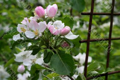 Blossoming branch of apple-tree