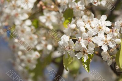 Spring Flowering Tree Blossom