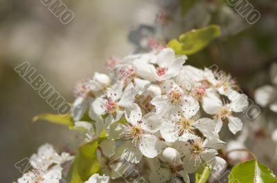 Spring Flowering Tree Blossom