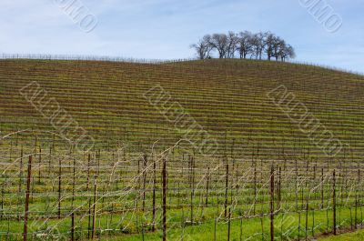 Vineyard Hillside and Trees