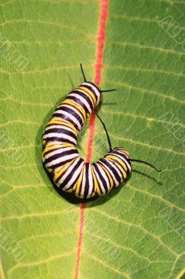 Caterpillar of Monarch Butterfly