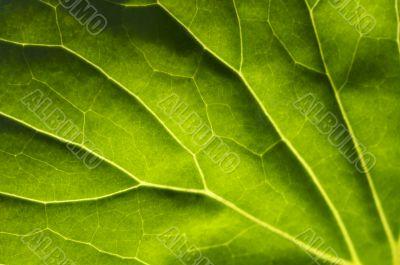 Macro Backlit Large Leaf