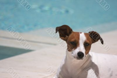 JRT soaks up the sun poolside on a warm summer day.