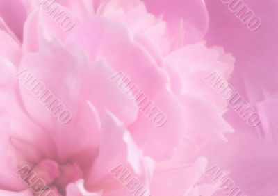 Background - pink petals of a peony