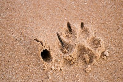 Dog paw print in sand