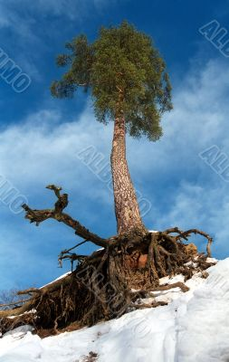 Fantastic pine-tree with a holderbat