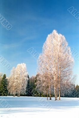Winter frosting trees