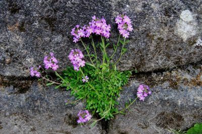 Alpine Plant growing in wall.