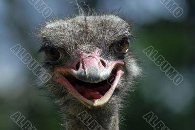 ostrich smile