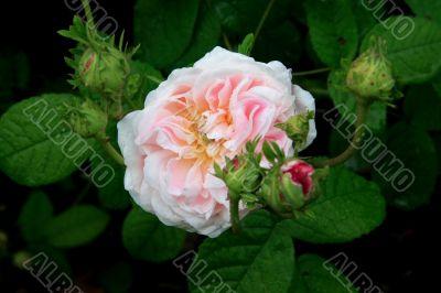 Rose (Rosa Belle isis)