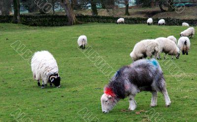 Marked Sheep