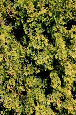 Conifer Tree