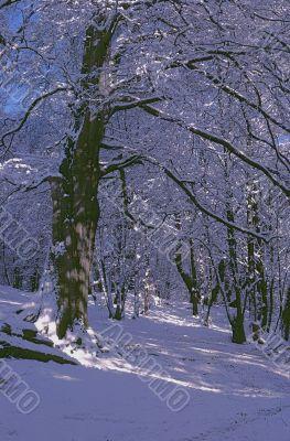 Woodland Snowscene