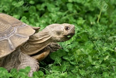 Tortoise with clover