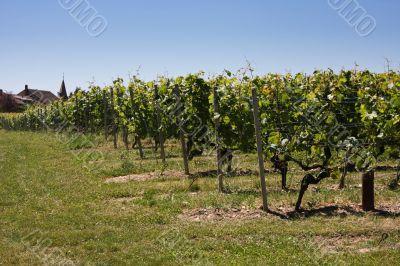Summertime vineyards