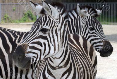portrait of two zebras