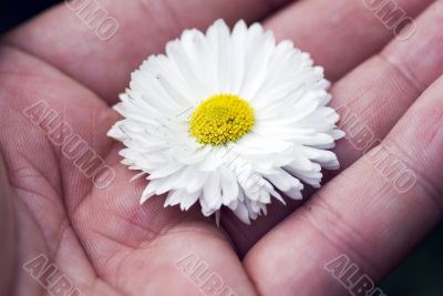 Hand hold a white camomiles