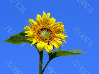Sunflower with bee before blue sky. Sonnenblume mit Biene vor bl