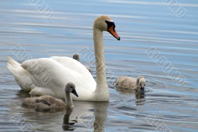 Swans family - Father with children
