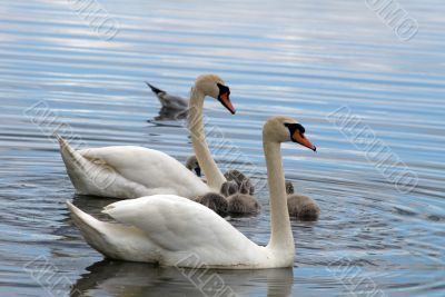 Swans family on a surface of lake