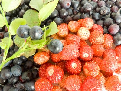 Forestry blueberries and strawberry