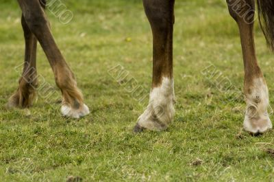legs of a choconot mare