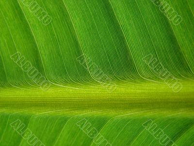 banana palm leaf green dark