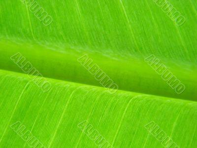 banana leaf green