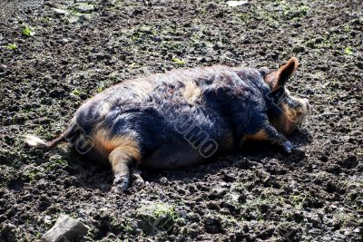 As Happy As a Pig in Muck