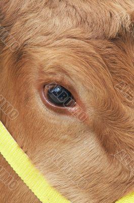 cows eye
