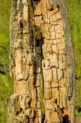 rotten and decomposed oak wood