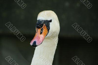 swan face head