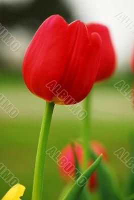 Red Tulip Flower Blooming