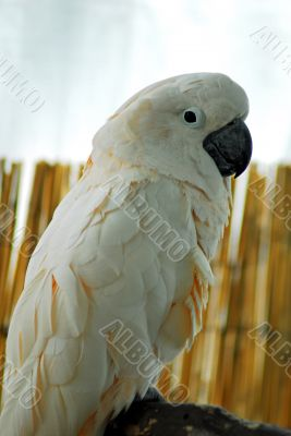 White macaw Parrot