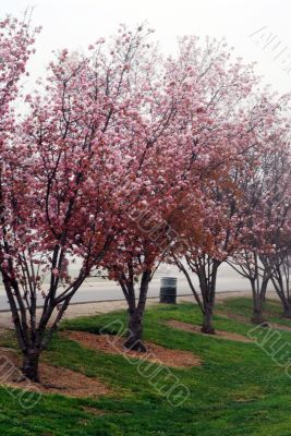 Pink Cherry Flowers Blooming in march month
